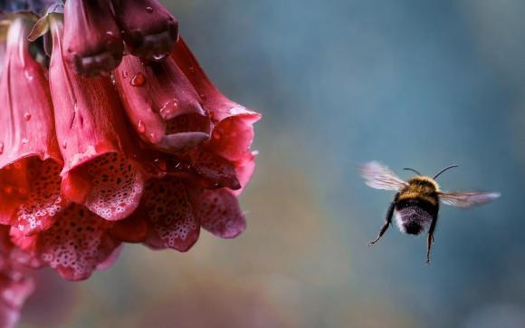 macro_flower_bumblebee_insect_flight_drops_1280x800_hd-wallpaper-409900